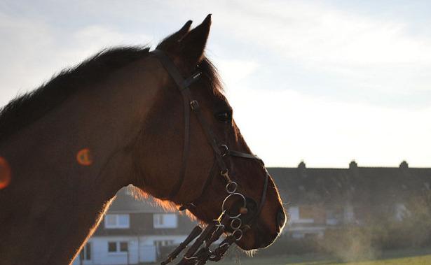 Cavallo Selle français testa