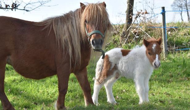 il cavallo più piccolo del mondo