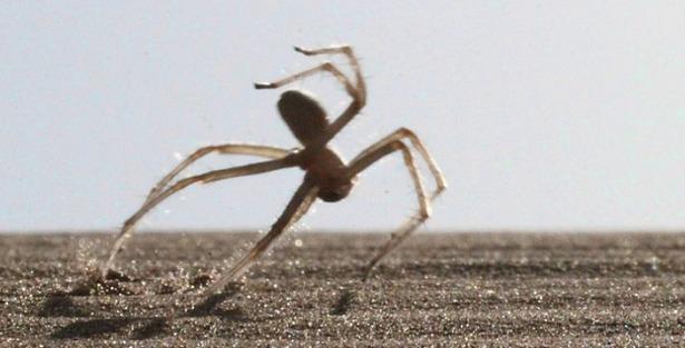 ragno volante