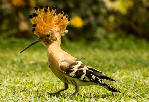 Uccello con cresta upupa