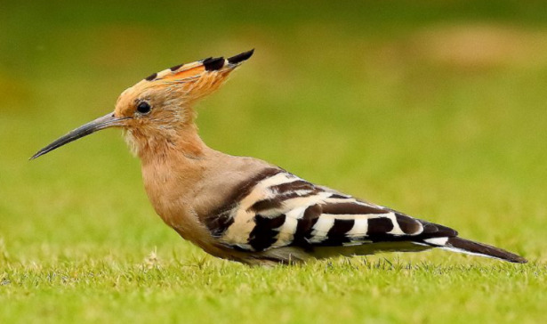 Uccello upupa