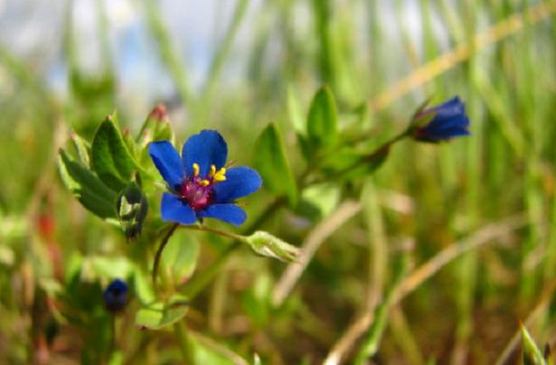 anagallide fiore blu