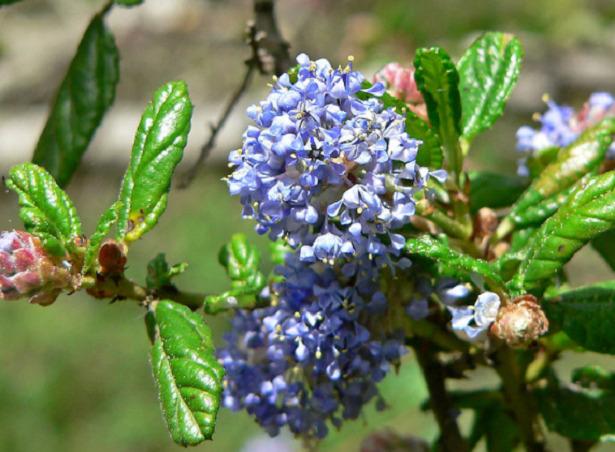 Ceanothus fiore