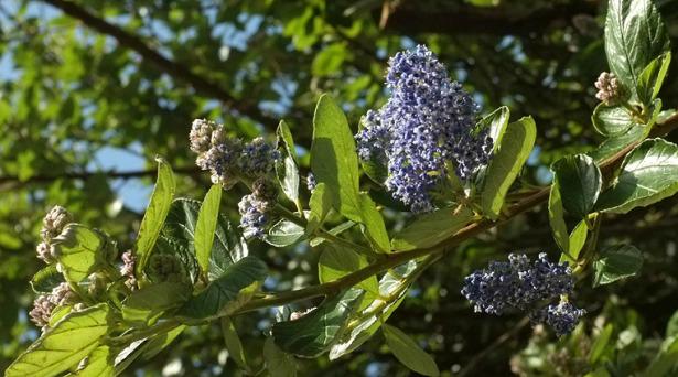 Ceanothus pianta