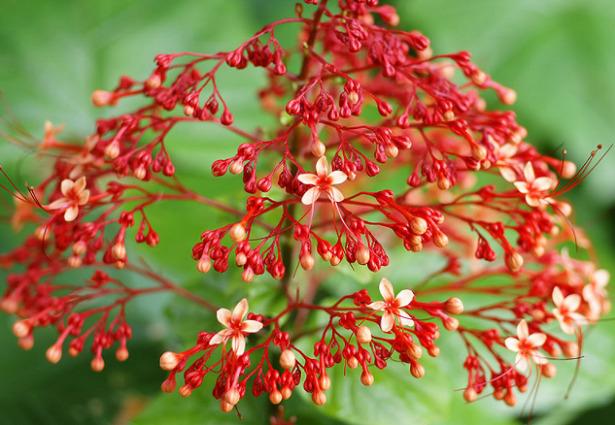 Clerodendrum fiori