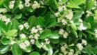 Euonymus fiori