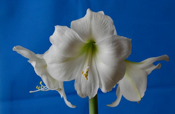 Hippeastrum bianco