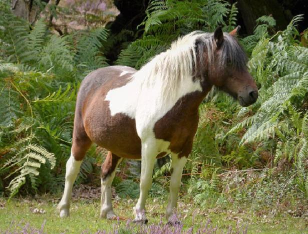 New Forest pony macchie