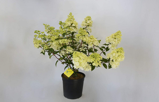 Ortensia paniculata amazon