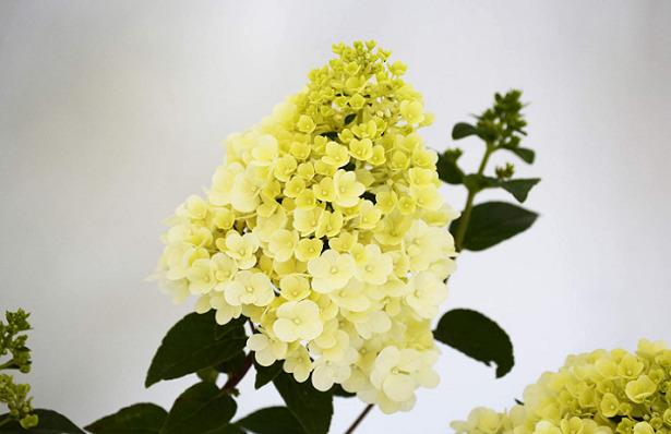 Ortensia paniculata fiore