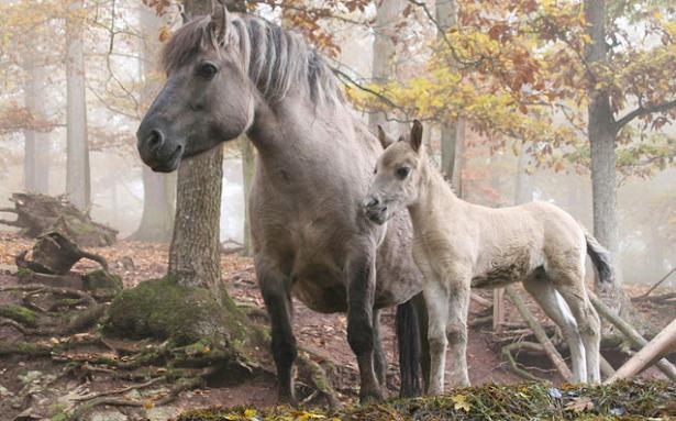 Cavalli di Heck