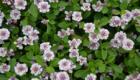 Lippia nodiflora amazon