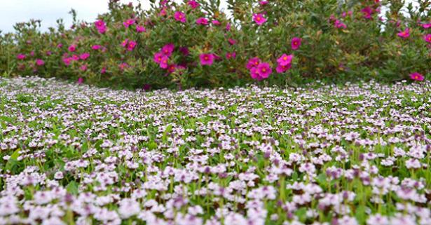 Lippia nodiflora orizzontale