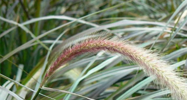 pennisetum spiga