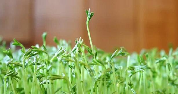 Pianta di lenticchie