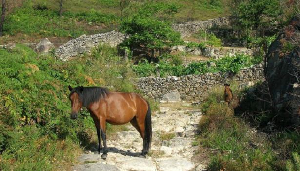Pony della Galizia
