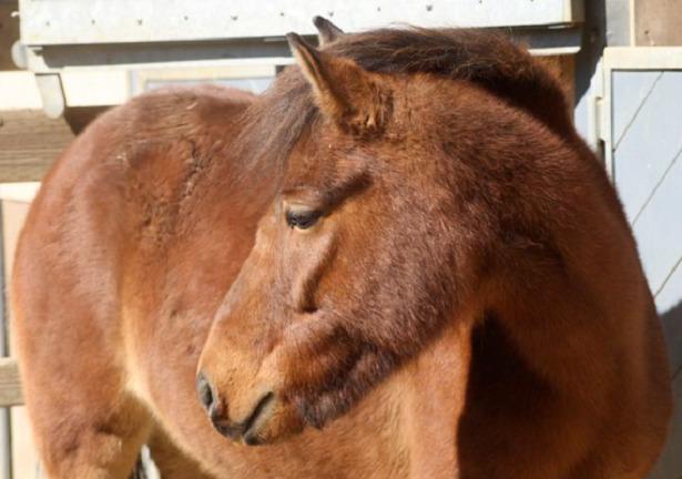Pony Gotland muso