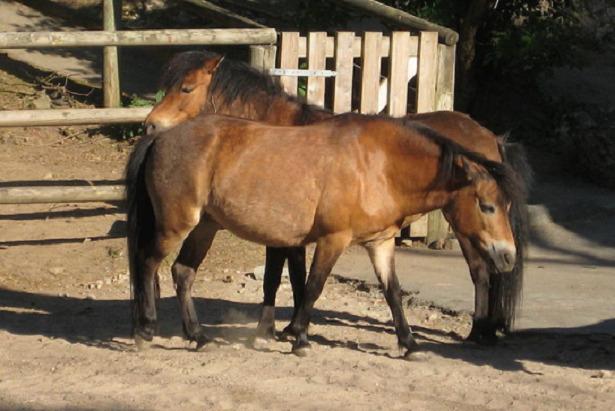 Pony Gotland