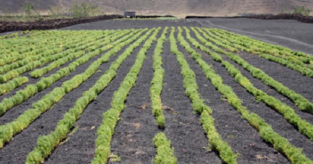 semina Pianta di lenticchie