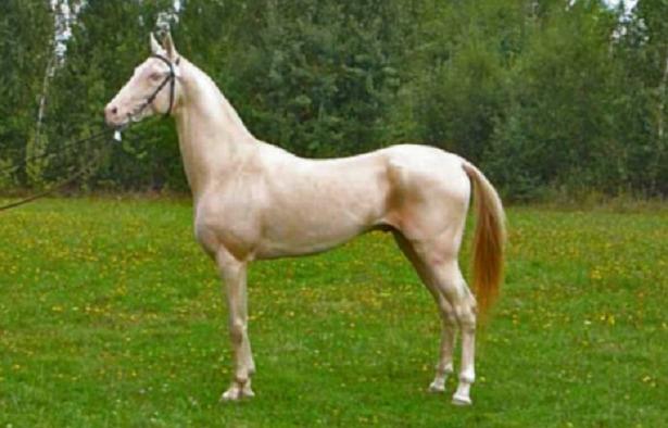 cavallo più bello mondo akhal teke