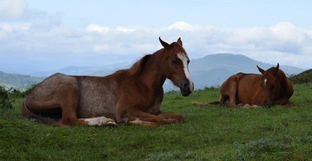 Cavalli che dormono o si riposano