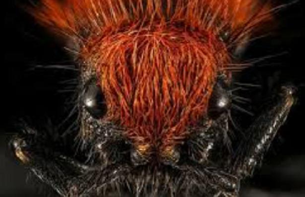 formica del legno