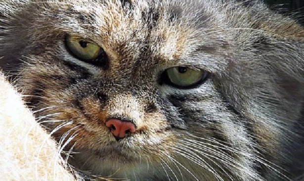Gatto di Pallas muso