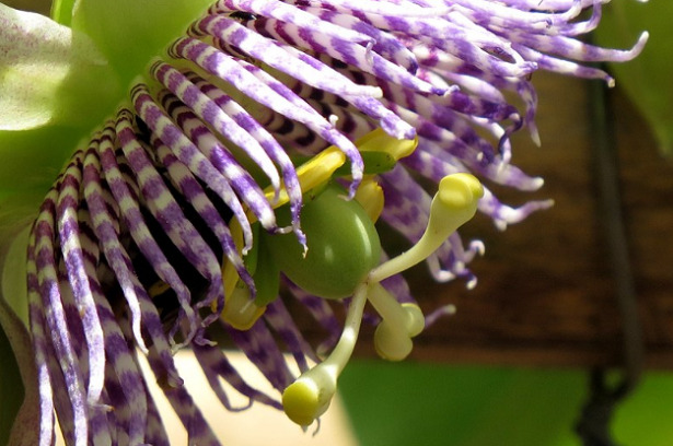 granadilla fiore