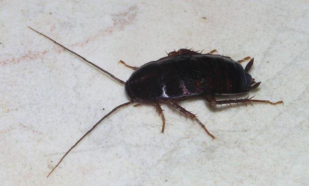 uova di scarafaggio