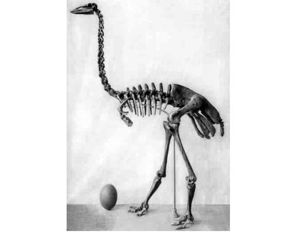 aepyornis scheletro
