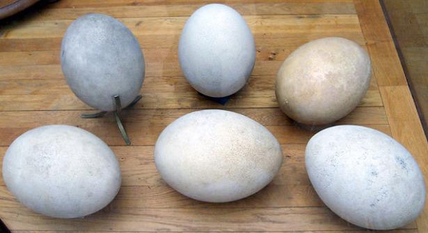 aepyornis uovo