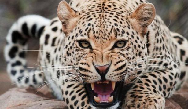 leopardo leonessa