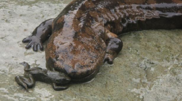 Salamandra gigante cinese