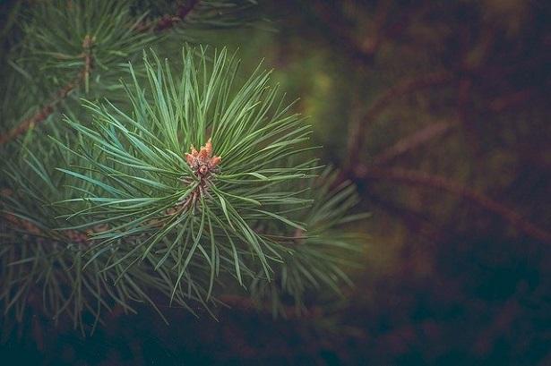 tipi di pino in Italia
