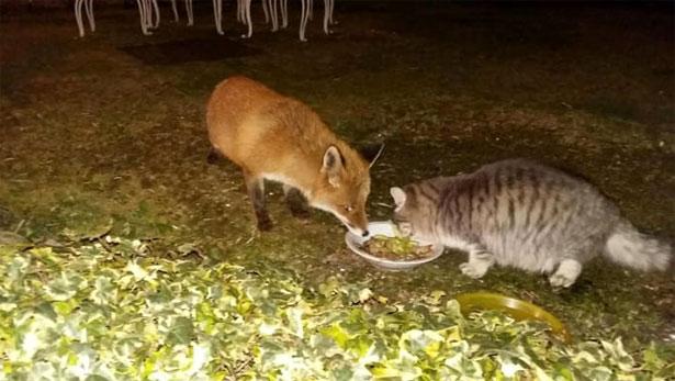 volpe mangia assieme a gatto