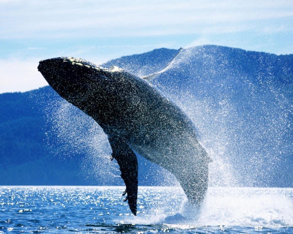balena che emerge dall'oceano