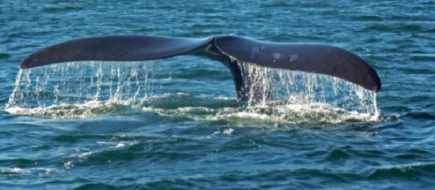 coda di una balena