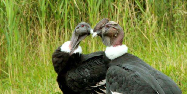 condor andini