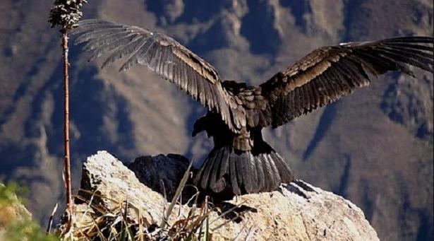 condor andino con ali spiegate