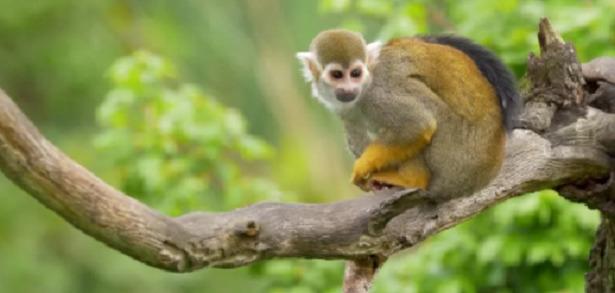 razza scimmia saimiri