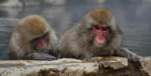 scimmia macaco giapponese