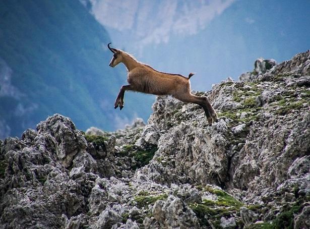 Fauna delle aree protette il Lombardia: il camoscio