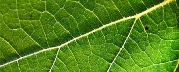 foglia clorofilla