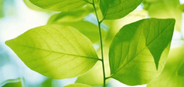 foglia fotosintesi