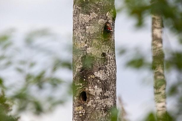 nido di picchio nero
