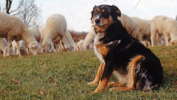 pastore biellese pecore
