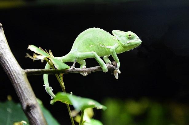 Rettili più facili da allevare in casa: camaleonte