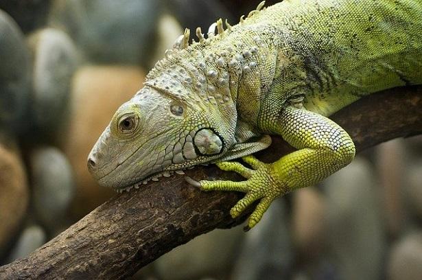 Rettili più facili da allevare in casa: iguana