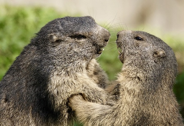 Fauna delle Dolomiti: marmotte