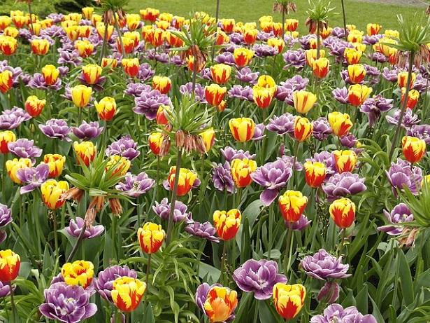 fioritura dei tulipani nel Parco Giardino Sigurtà